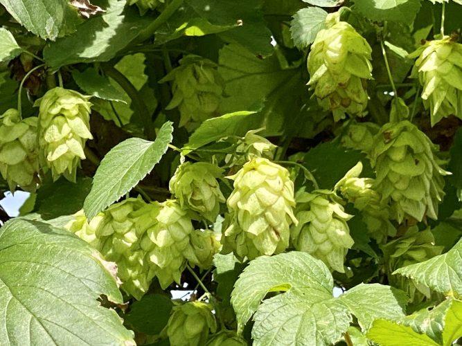 ビールの聖地『八ヶ岳』で、ホップを学んで最高に美味しいクラフトビールを飲もう🍺【ホップ農家 小林】(前半)